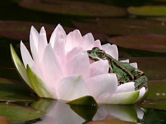 Frosch auf der Seerose