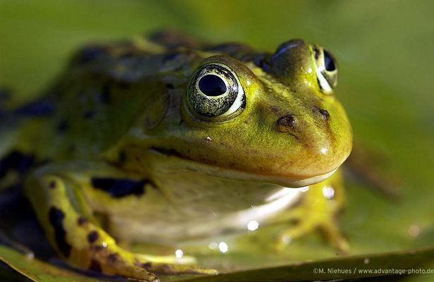 Frosch auf Seerose