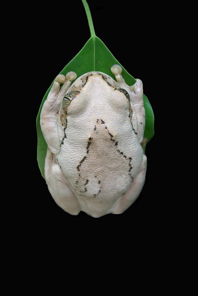 Frosch von Niklas Passmann