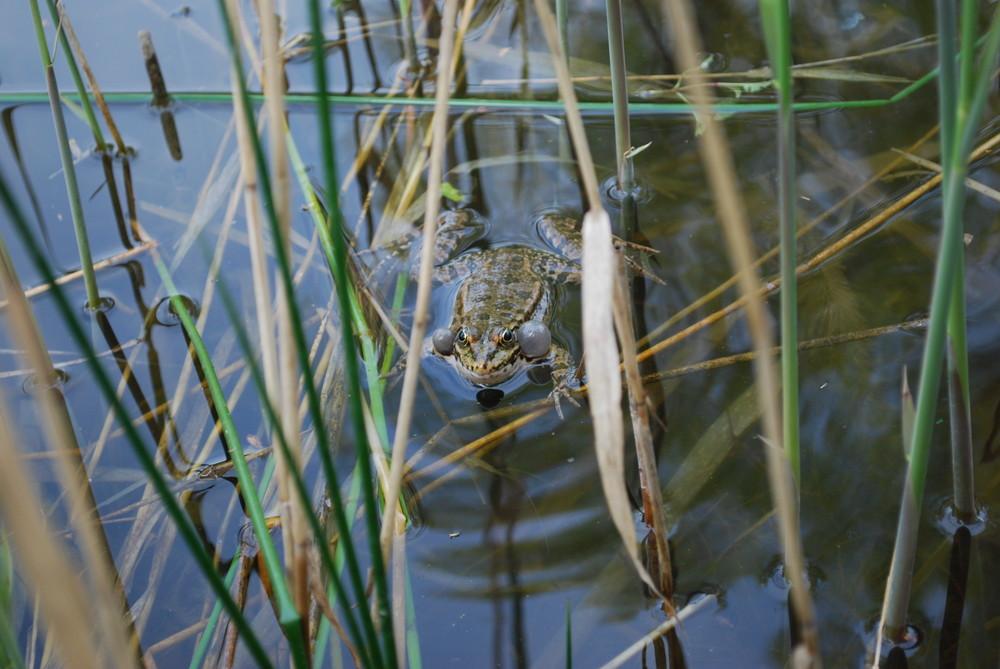Frosch beim balzen