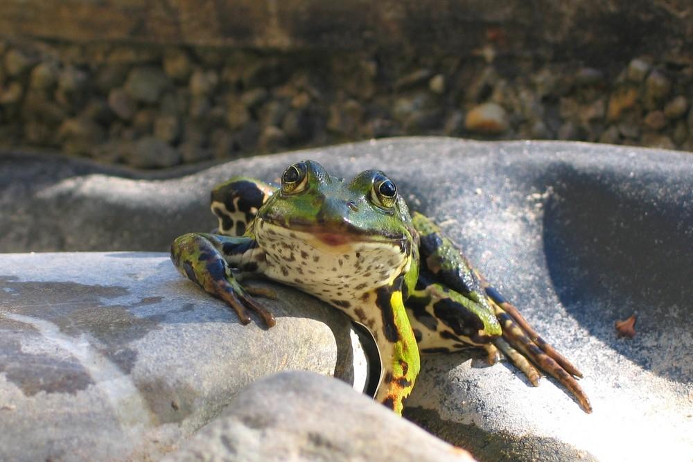 Frosch bequem