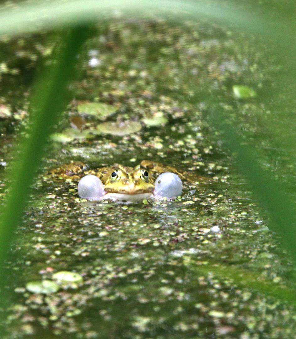 Frosch bläst Backen auf