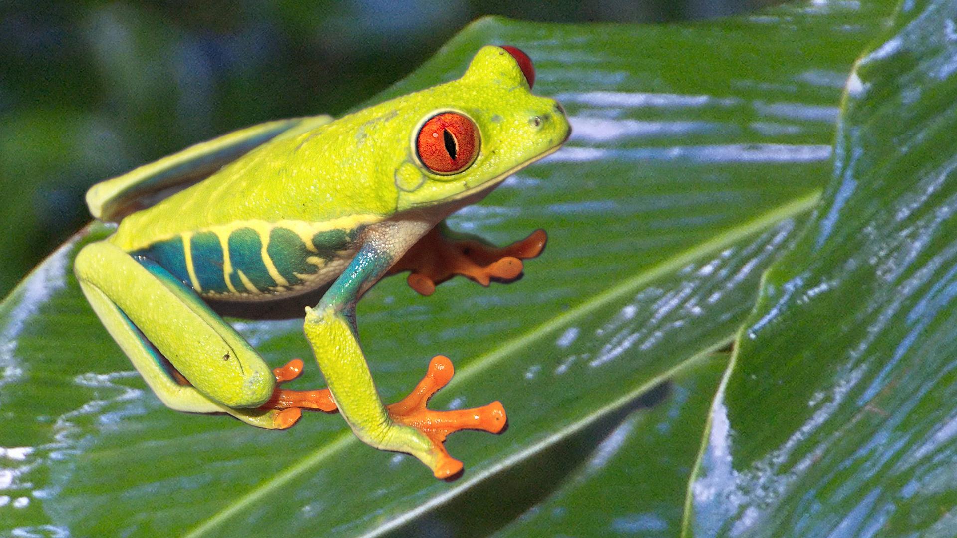 Frosch (Costa Rica)