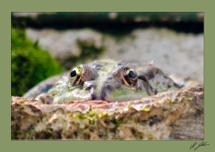 Frosch der 2.
