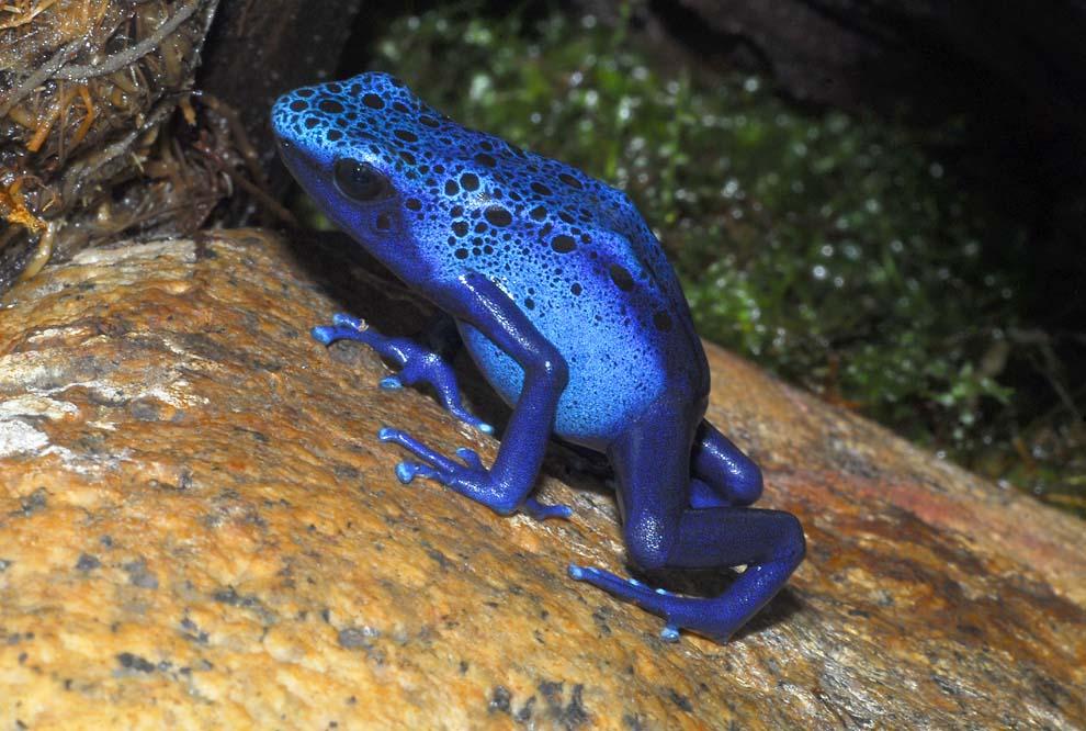 Frosch, dunkelblau