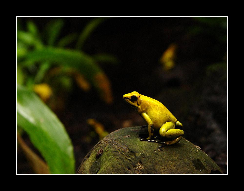 Frosch. Gelb.