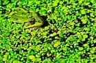 Frosch-grün