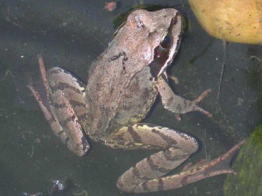 Frosch halb im Wasser