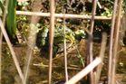 Frosch hinter Gittern