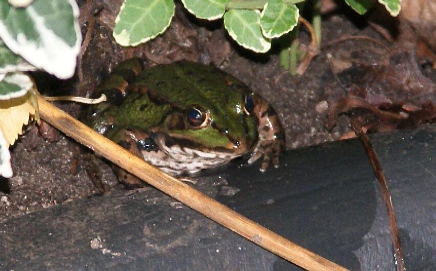 Frosch Hugo