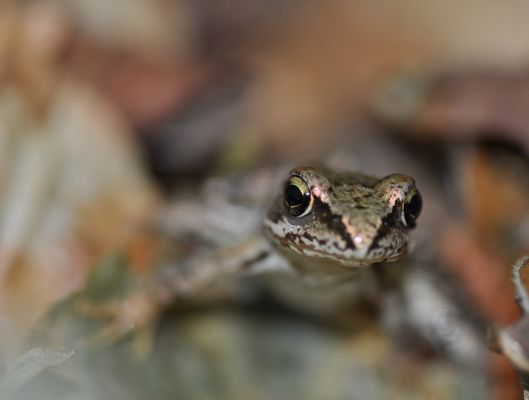 ....Frosch II