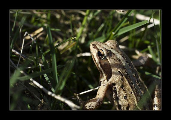 Frosch (II)