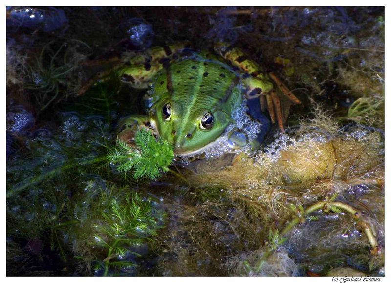 Frosch im Algenbad
