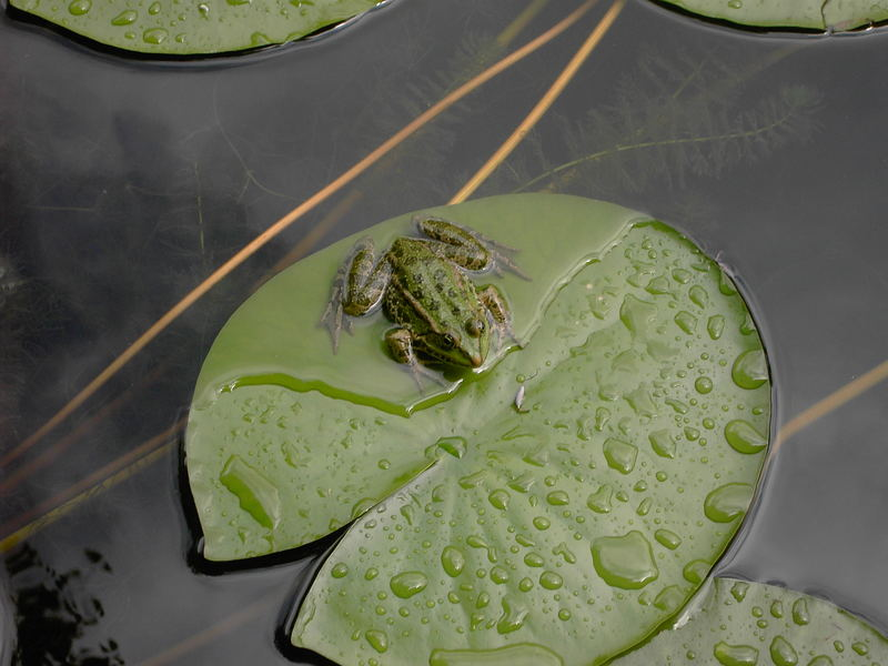 Frosch im Botanischen Garten Heidelberg