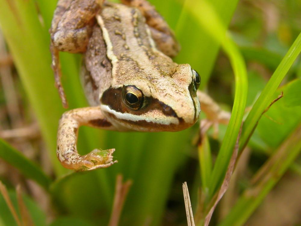 Frosch im grünen