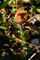 Frosch im Herbst