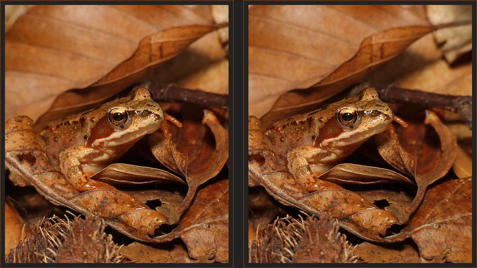 Frosch im Herbstlaub [3D]