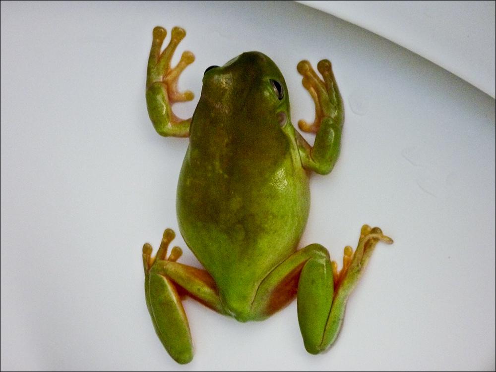 Frosch im Klo