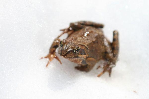 Frosch im Schnee