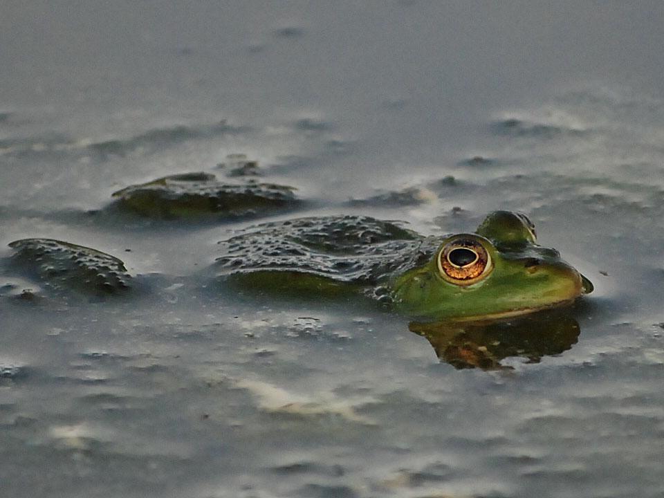 Frosch im Teich 1