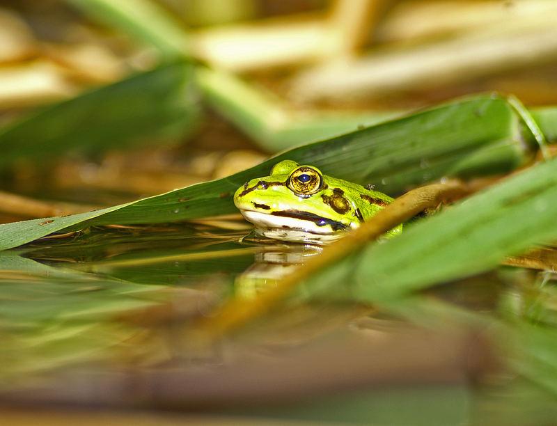 Frosch im Teich