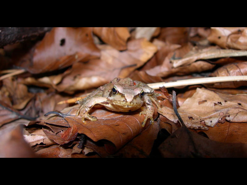 Frosch im Wald