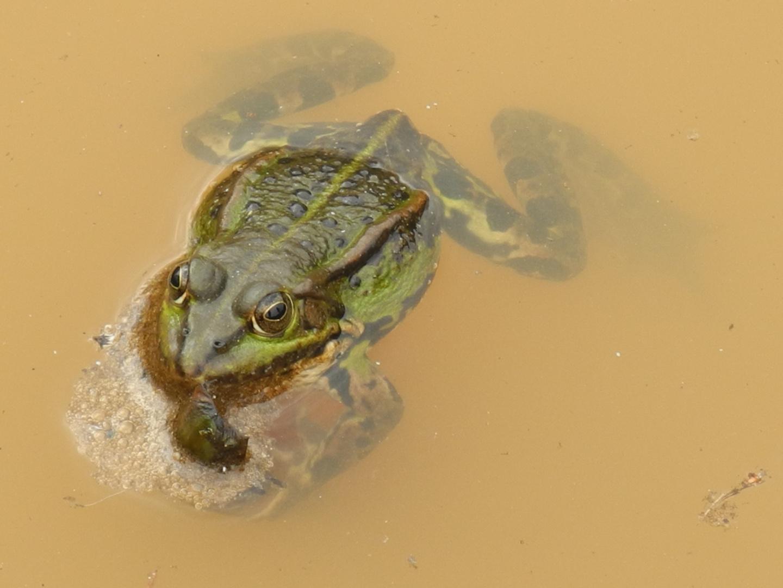 Frosch in brauner Brühe