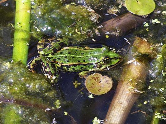 Frosch in seinem Habitat