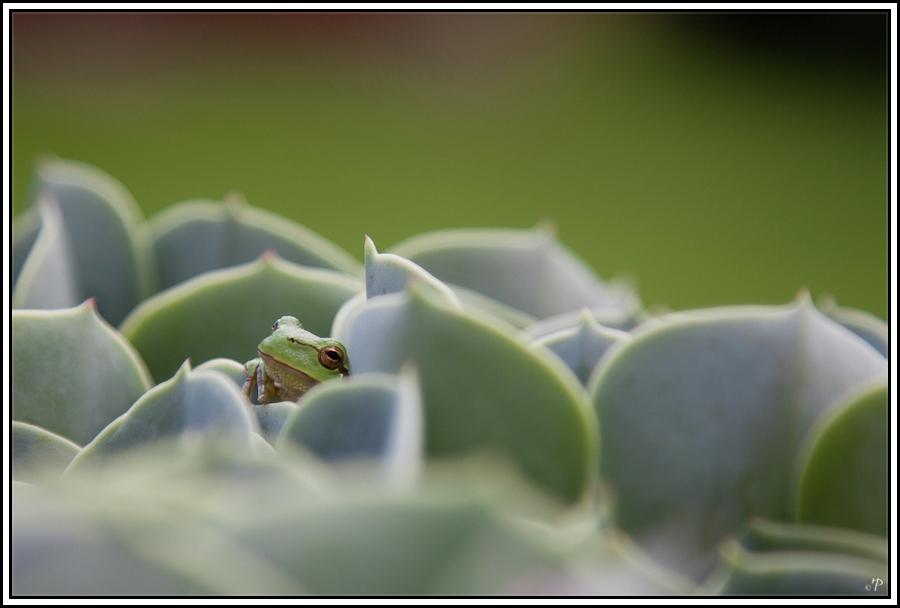 Frosch in Steinrose 2, Einen Blick riskieren