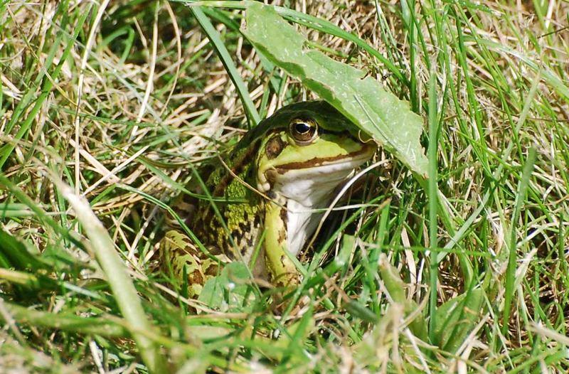 Frosch mit Sonnendach - ein heißer Sommer!
