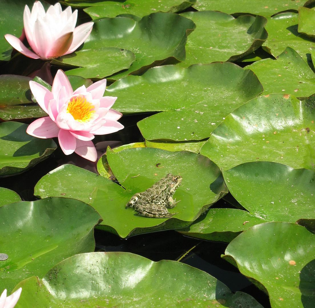 Frosch mit Wasserlilien