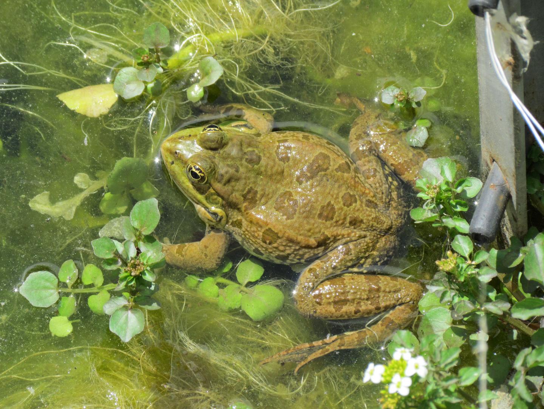 Frosch oder Kröte