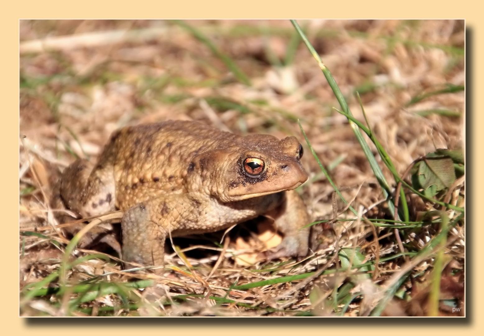 Frosch oder Kröte ?