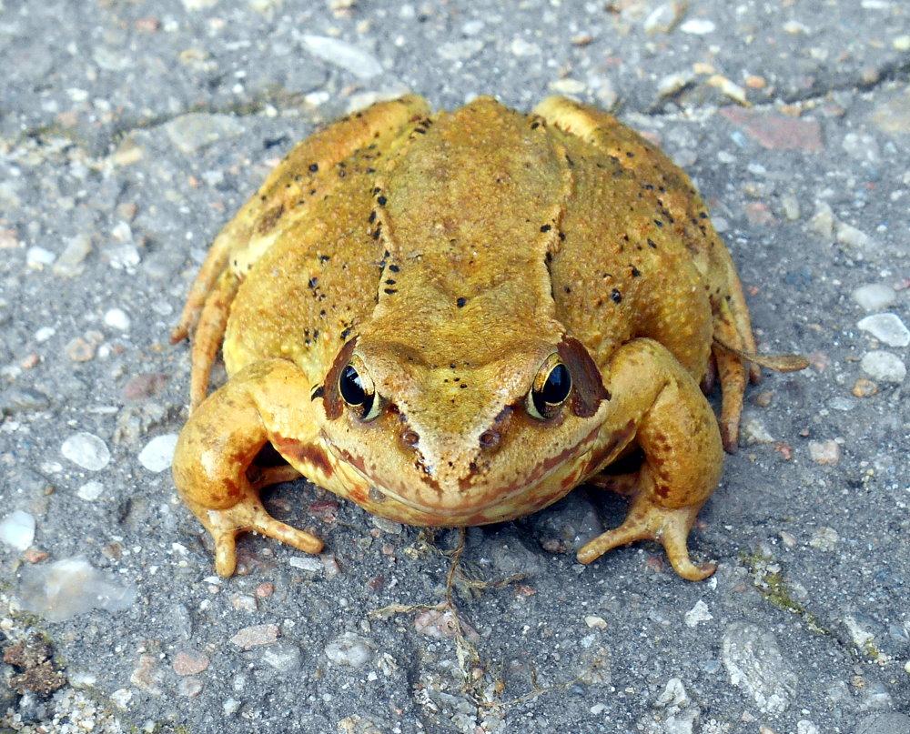 Frosch oder Unke?