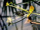 Frosch ohne scheu
