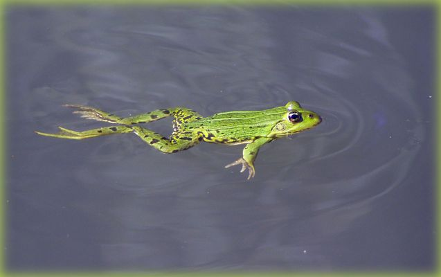 Frosch schwimmt