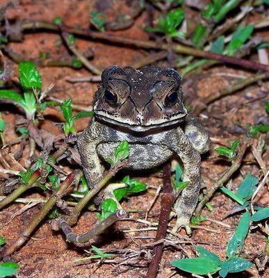 Frosch Thailand Kholak