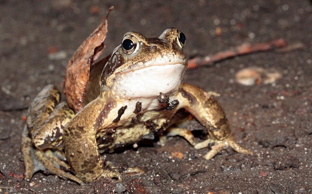 Frosch *Unerschrocken*