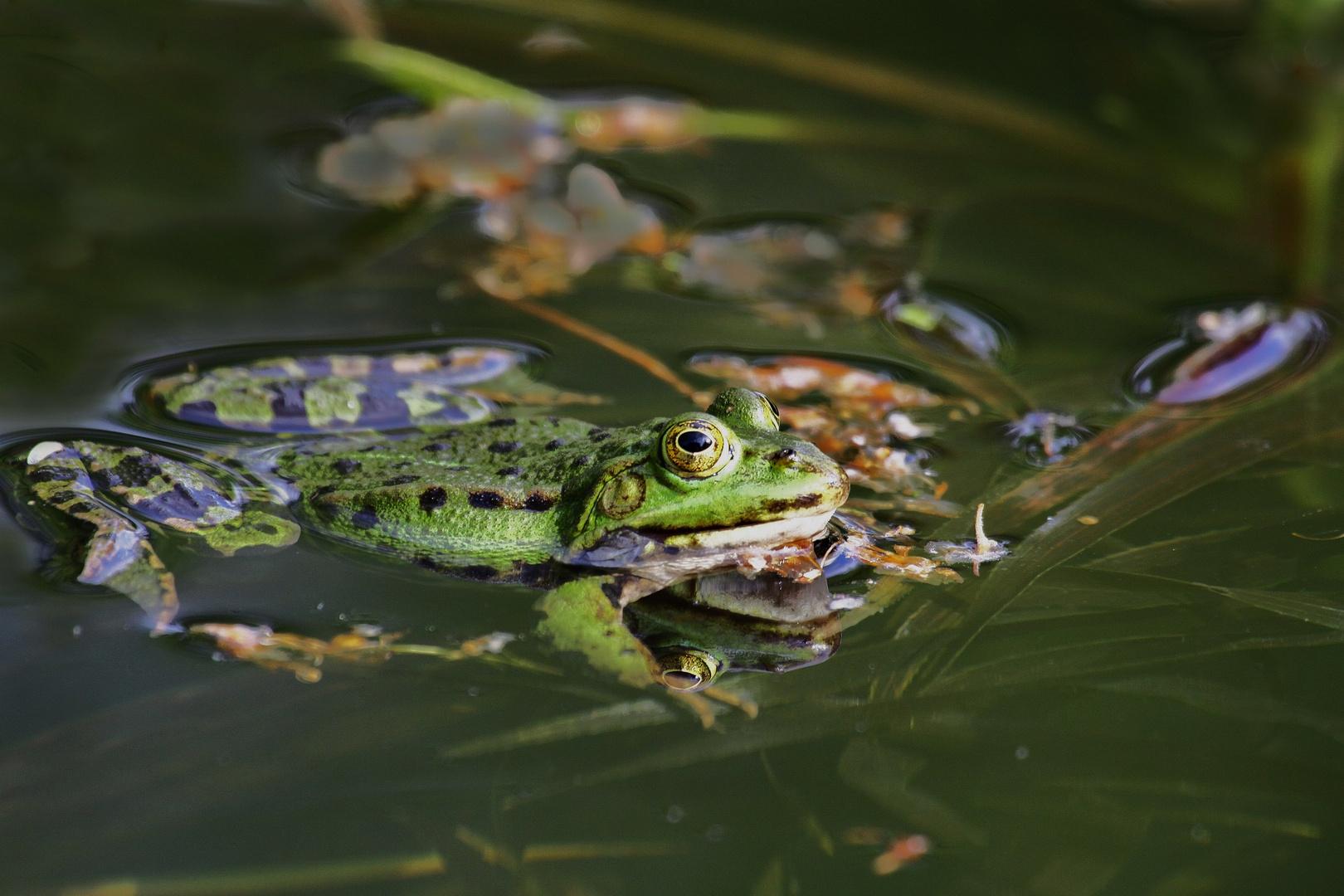 Frosch2