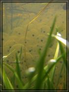 Froschlaich 1