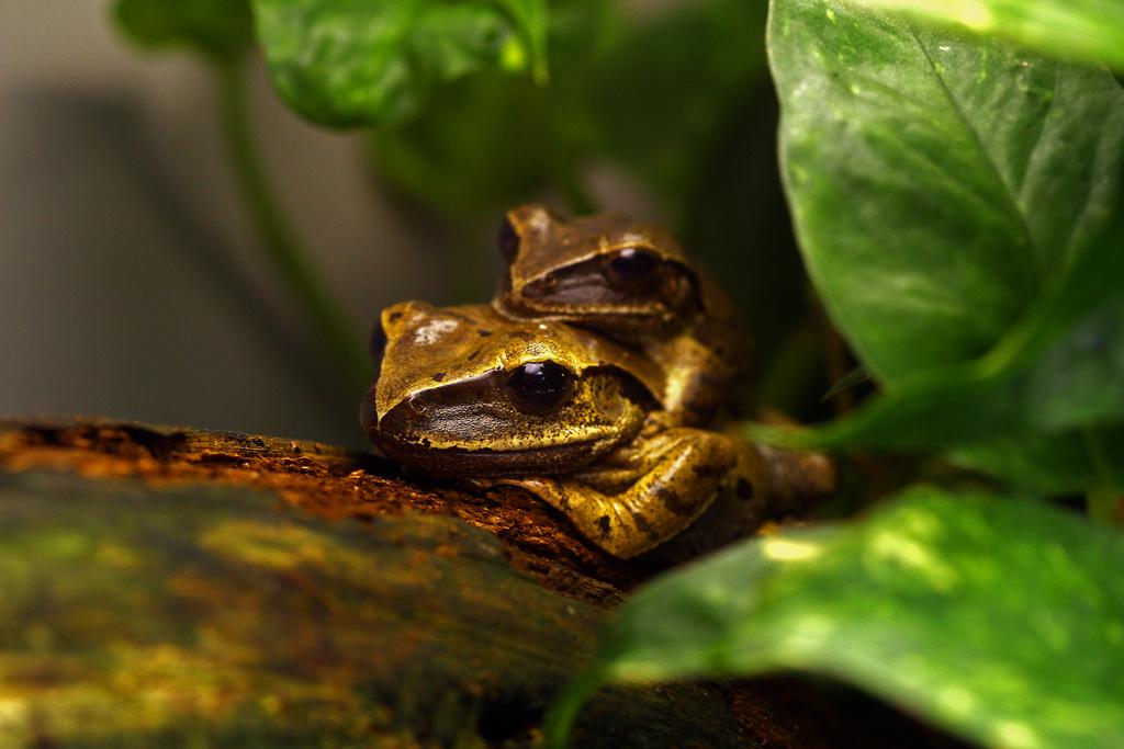 Froschpaar - Wilhelma 2010