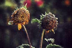 Frost auf den Sonnenblumen!
