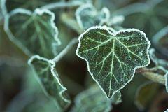 Frost-Efeu