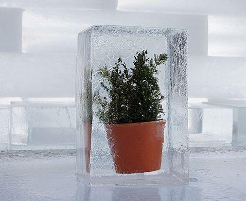 Frostbaum
