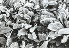 Frostblätter