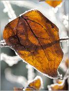 Frostblatt