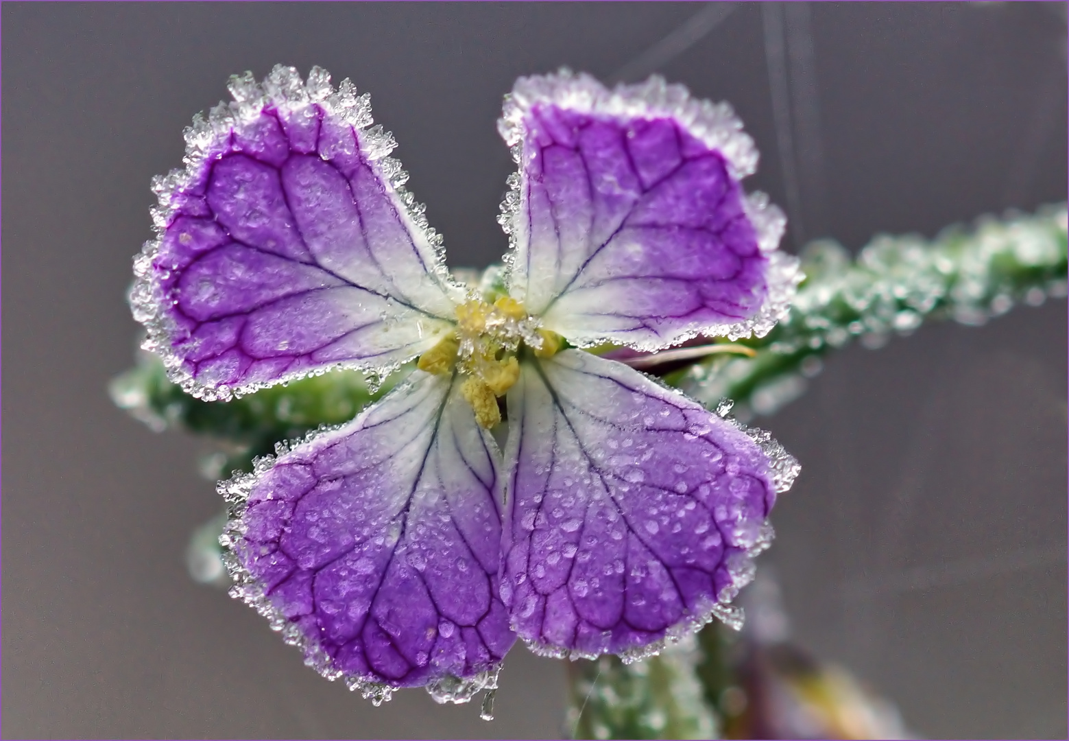 Frostblümchen