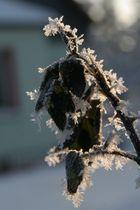 Frostdornen an den Rosenblättern