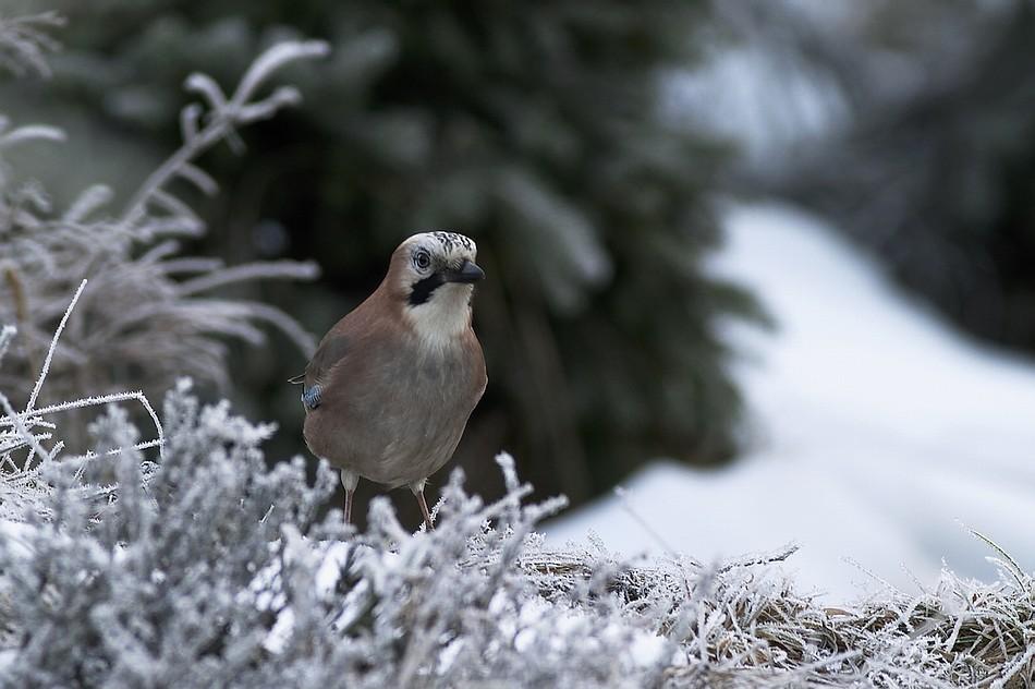 Frostig ist`s im tiefen Wald...