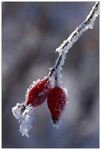 Frostige Hagebutte